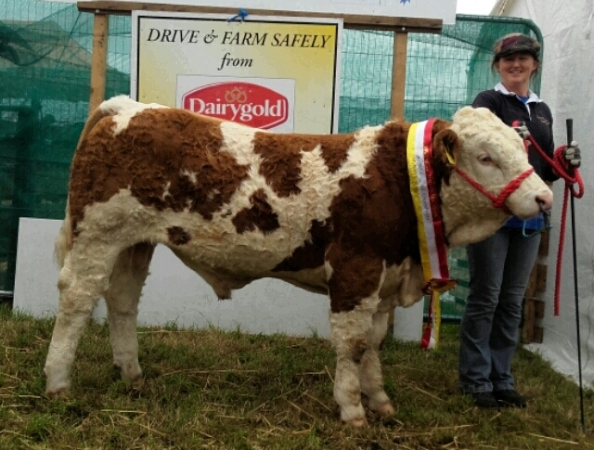 Bantry & Southern Simmental Calf Final Senior Bull Calf Champion 'Carbery Hitman'