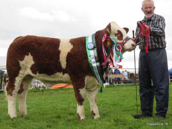 Cappamore Show Reserve Overall Champion, Club Champion & South West Champion Yearling Heifer 'Towerhill Godiva'