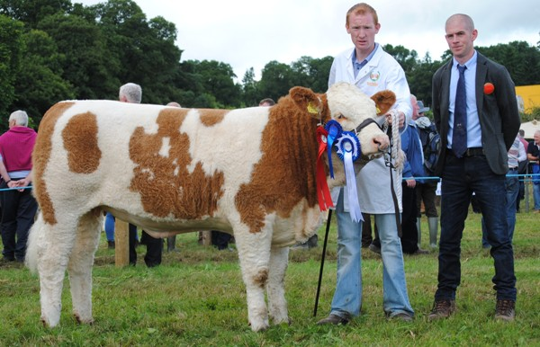 Virginia 2017 NE Simmental Club Senior Female Calf Champion 'Clonguish Hilda'