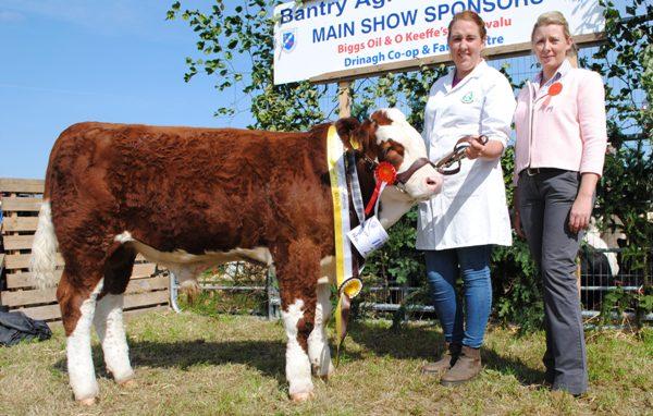 Bantry Southern Club Junior Bull Calf Champion 'Brideland Franklyn'