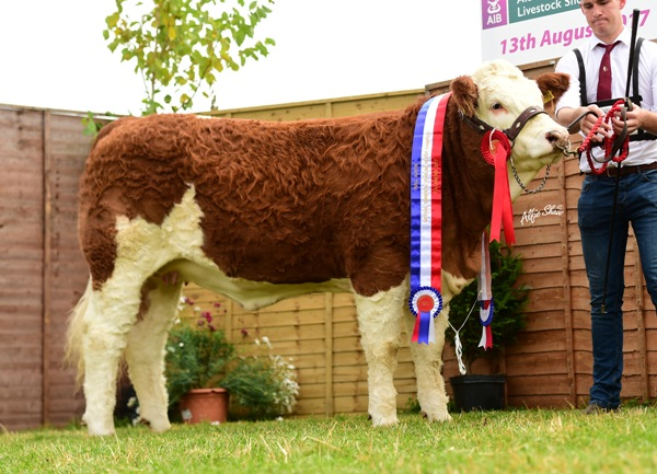 Tullamore Show 2017 National Simmental Yearling Heifer 'Seaview Harriet'