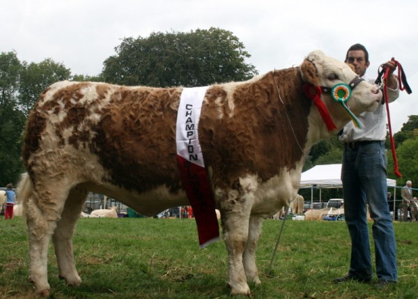 Tullow Show 2011 Overall Simmental Champion 'Clonagh Absolutely Fabulous'
