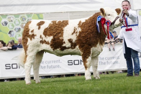 Female and supreme overall Simmental champion was Tawley Gretta shown by Kieran Mullarkey from County Sligo. Picture: MacGregor Photography